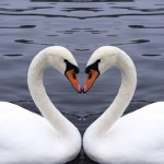 Opposites Attract: 2 swans kissing