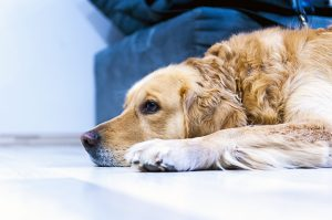 Even your dog will be grumpy during Coronavirus quarantine.